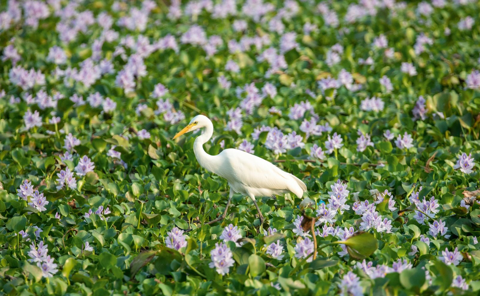 A cattle egret wades among water hyacinths. While beautiful, the ubiquitous flower poses challenges to those living ...