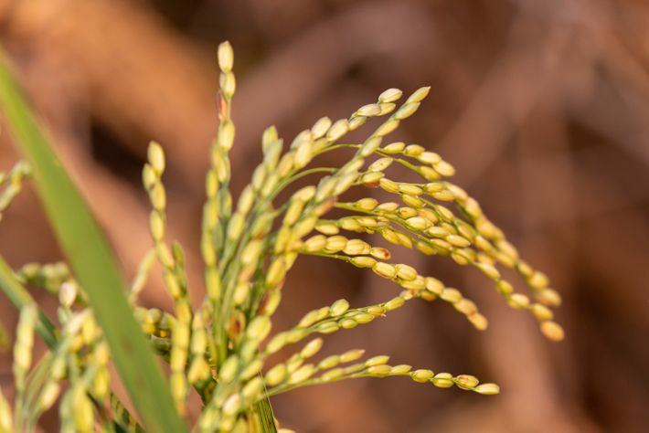 Grains of rice ready for harvesting. It's the main crop grown and a major source of ...