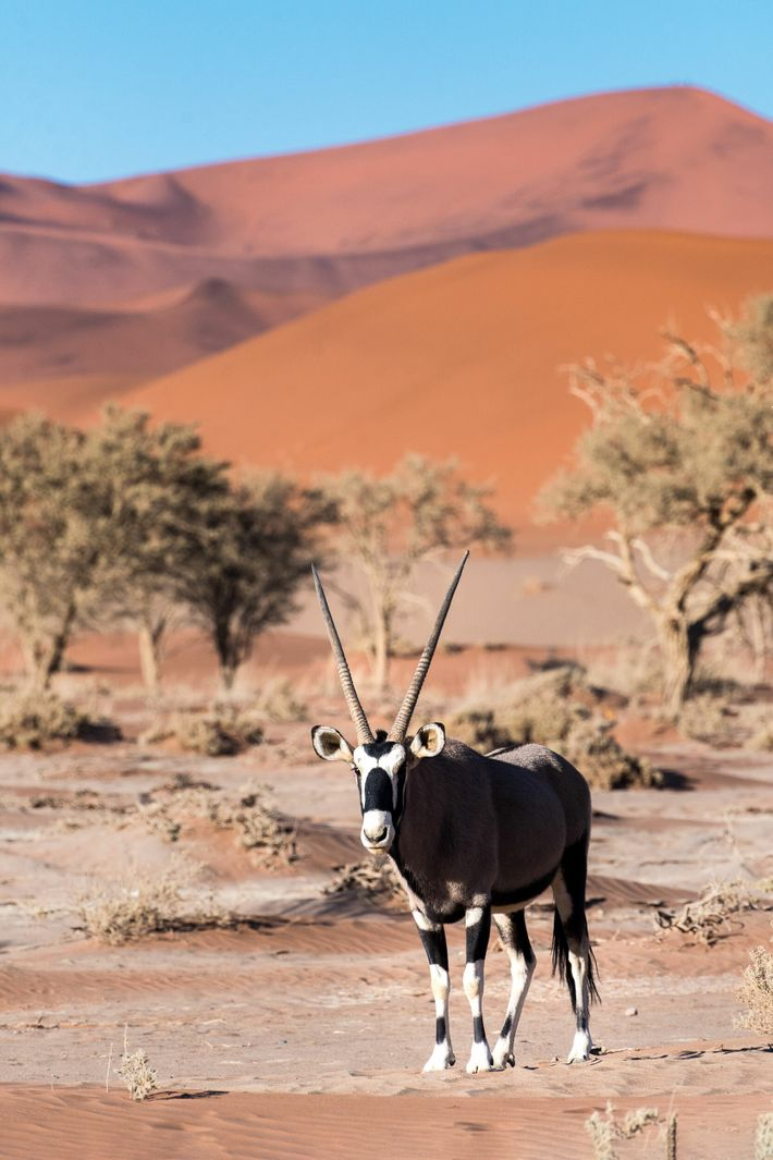 An oryx, Namibia's national animal.