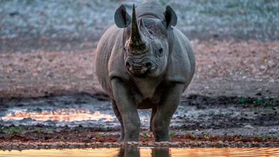 An endangered black rhino in the Ongava Private Game Reserve.