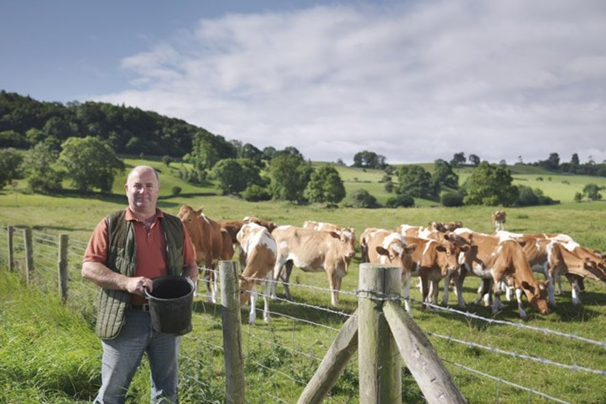 Guernsey cattle and farmer