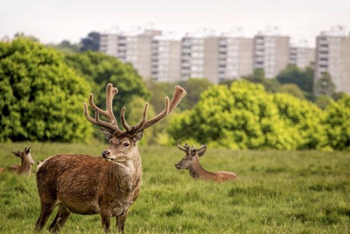 Grazing deer, Richmond.