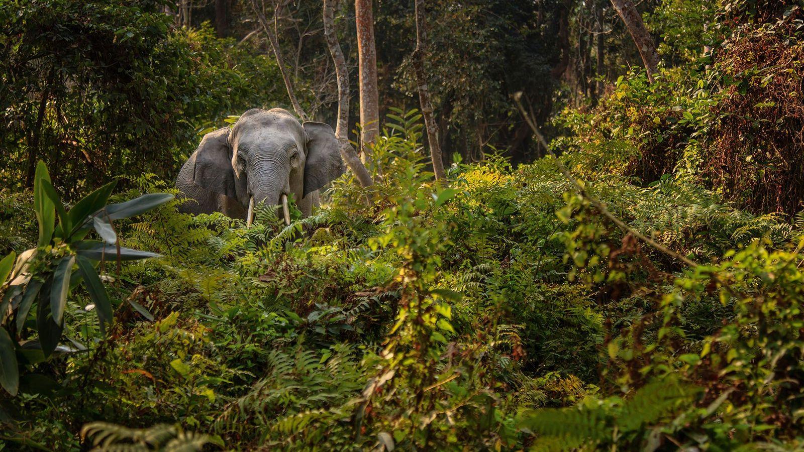 Wild Indian elephant, Kaziranga National Park and Tiger Reserve.