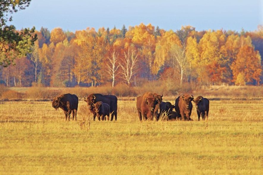 The 900-odd bison in Białowieża make up around 25% of the world's total population.