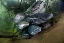 Wels catfish, which are native to Eastern Europe, can grow up to 10 feet long.