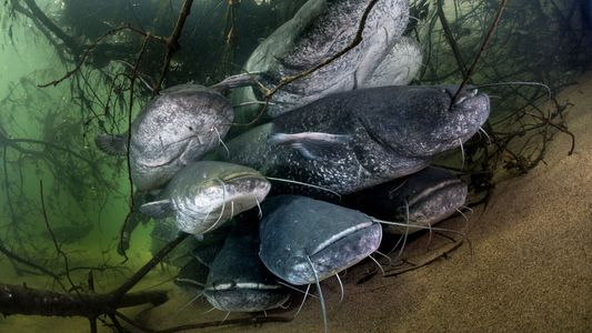 Enormous pigeon-eating catfish wreaking havoc on Europe's ecosystems