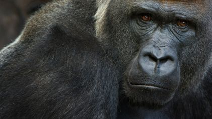 Several gorillas test positive for COVID-19 at California zoo—first in the world