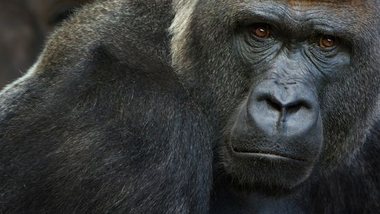 Critically endangered western lowland gorillas are known to be susceptible to the novel coronavirus. On January ...