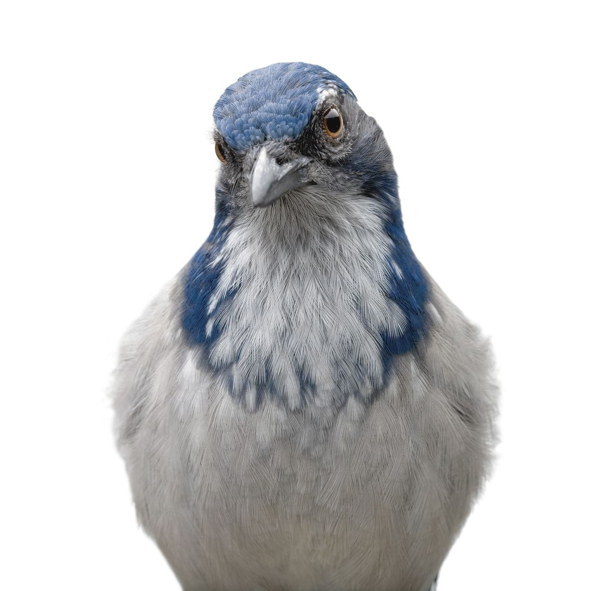 The scrub jay, a bird native to western North America, can remember more than 200 different ...