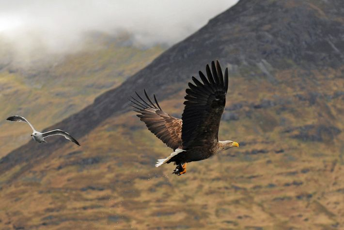 White-taled eagles can be spotted in the Isle of Mull, Scotlandsoaring overlochs and rocky inlets.