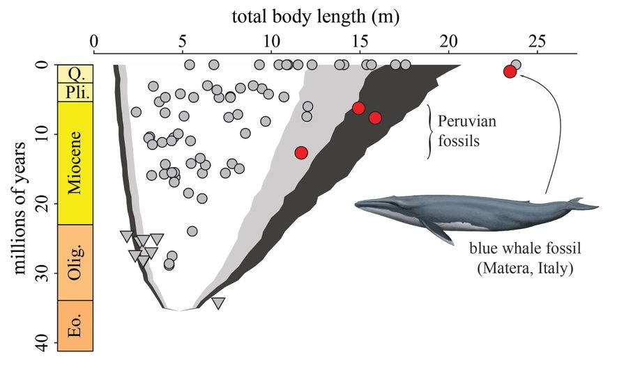 A chart shows the changing body length of baleen whales plotted against time. Red circles show ...