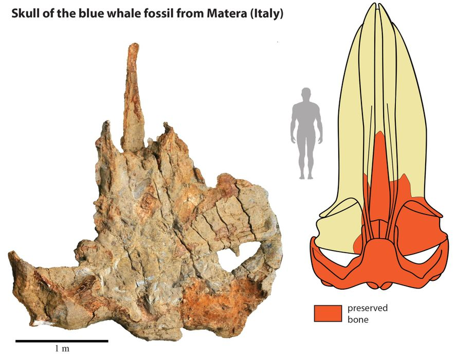 The fossil skull of the Matera whale (left) helped scientists create this reconstruction of the full ...