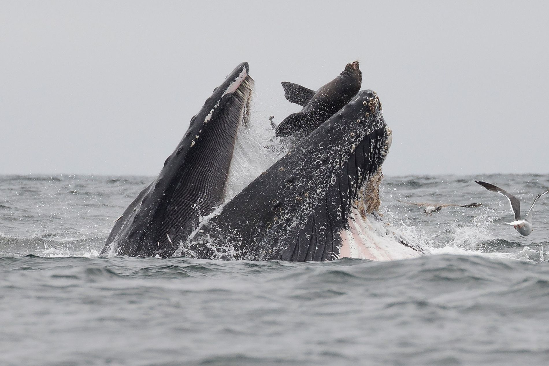A photographer in Monterey Bay spotted a humpback accidentally trapping a sea lion when both species ...