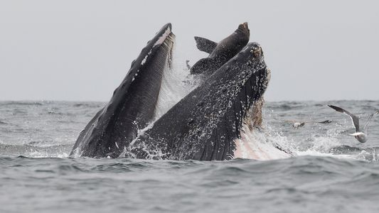 How a humpback whale ended up with a sea lion in its mouth