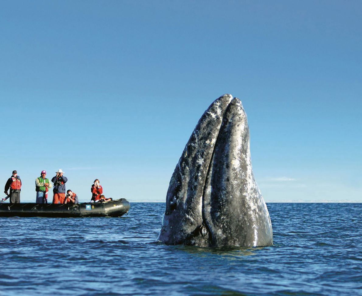 Boaters observe a gray whale lift its head above the water's surface in Baja California, Mexico. ...