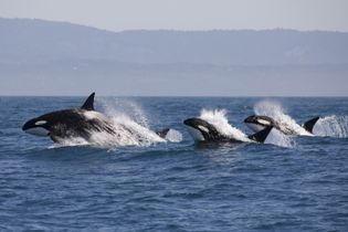 Orcas in the nutrient-rich waters of Vancouver Island.