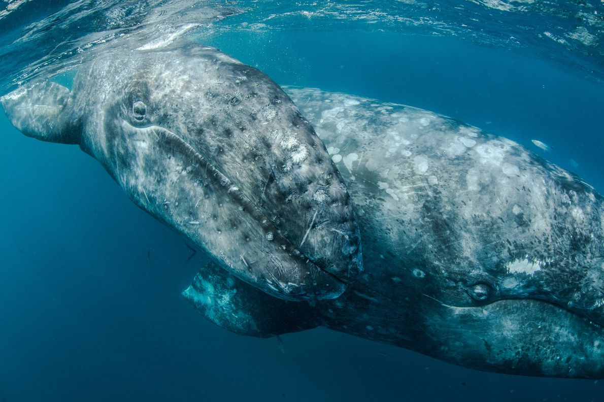 Another view of a grey whale in Baja, Mexico.