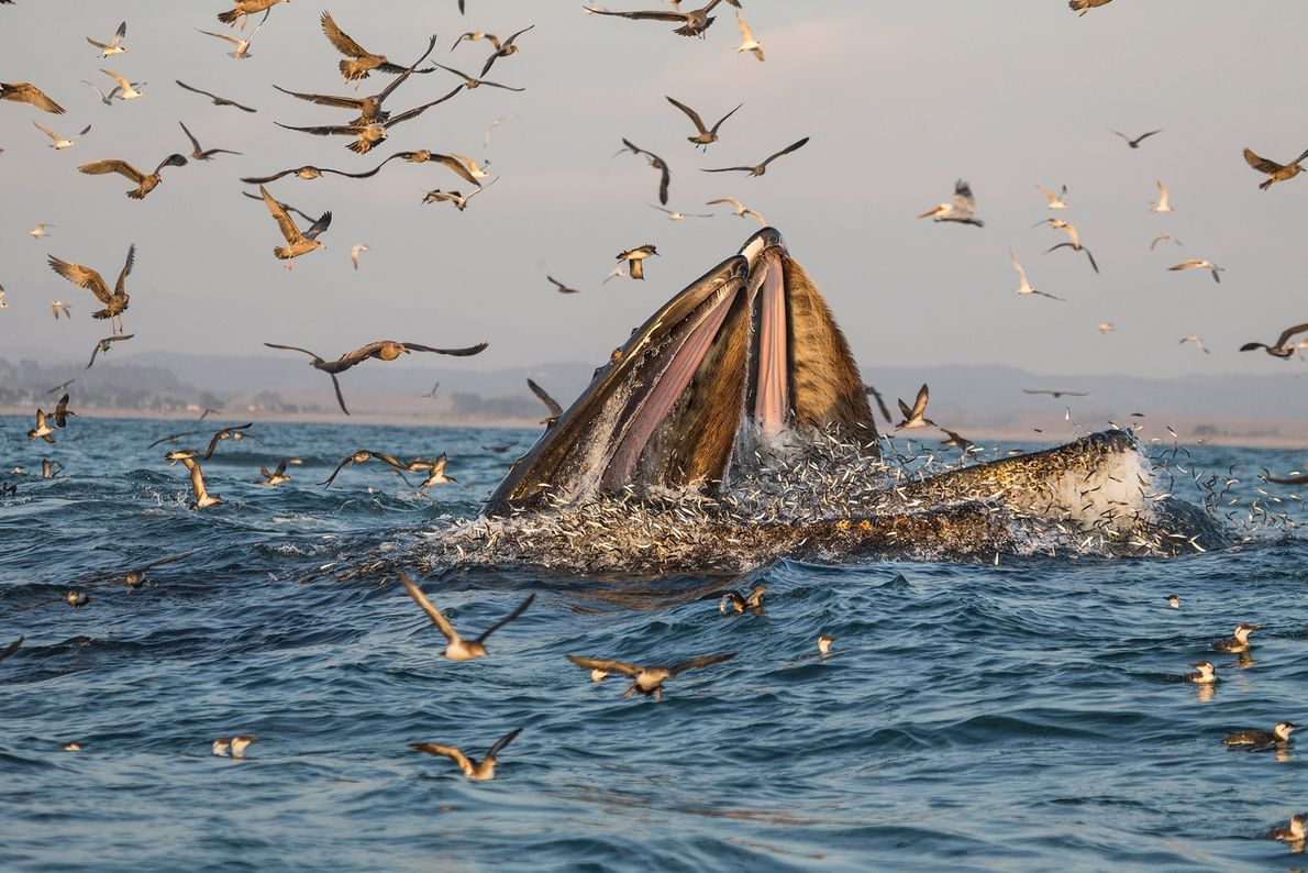 In Monterey Bay, California, whales follow anchovies and eat gigantic mouthfuls of the fish.