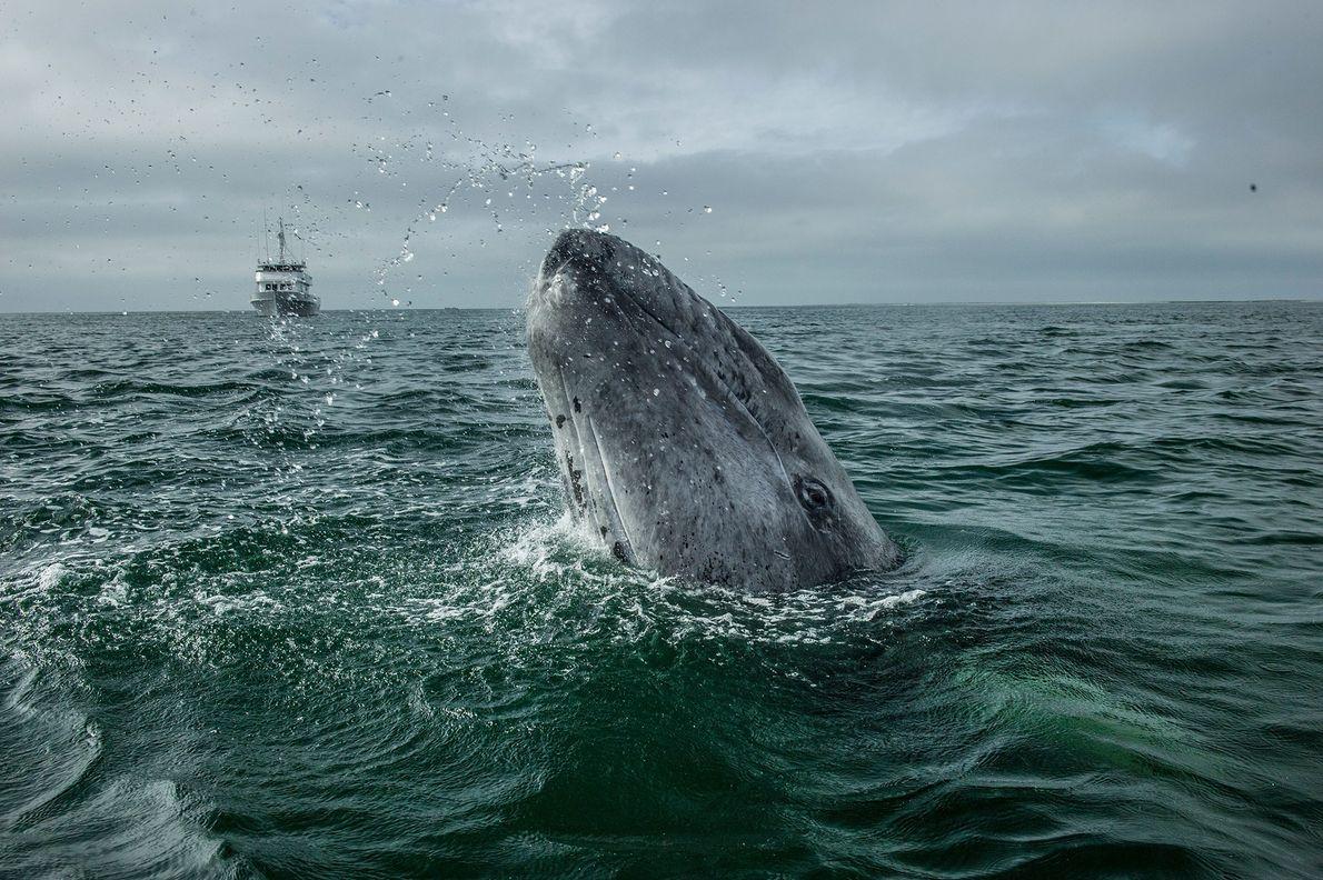 A grey whale spy-hops in San Ignacio Lagoon, Baja, Mexico.