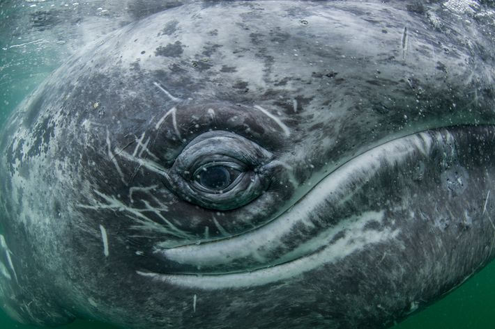 Grey whales like this one migrate up to 10,000 miles a year, from the warm waters ...