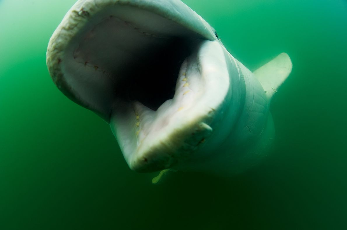 It was long thought that beluga whales were shallow divers, but years of tracking them has ...