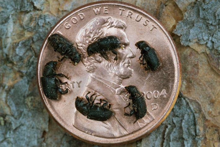 With a longer warm season, these tiny mountain pine beetles have destroyed large swaths of forest ...