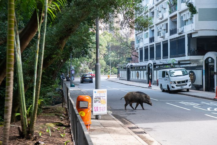A wild boar crosses Conduit Road in Mid-Levels, a high-end residential area in Hong Kong. The ...