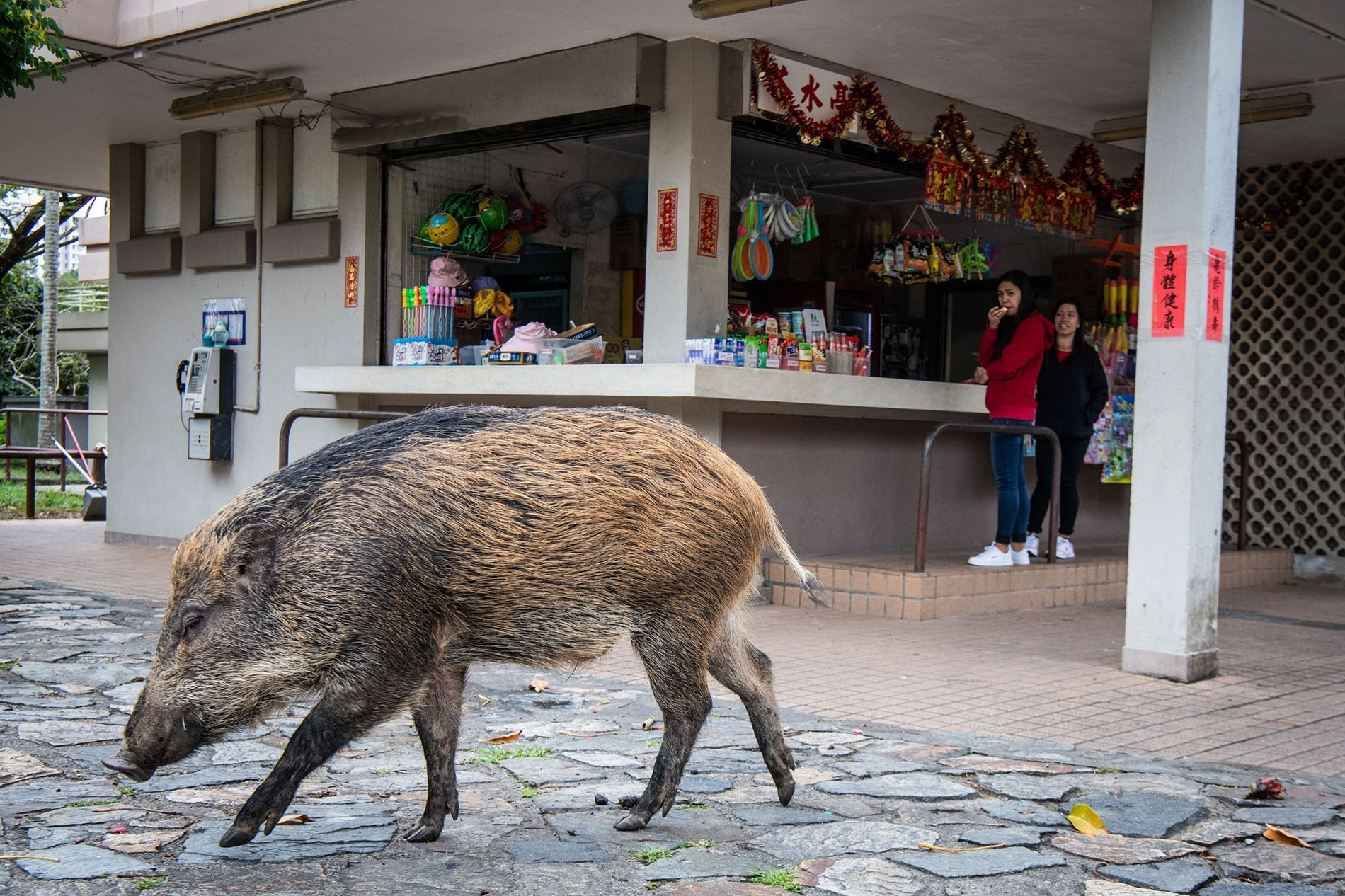 A wild boar wanders in front of a concession stand in Aberdeen Country Park, Hong Kong. ...