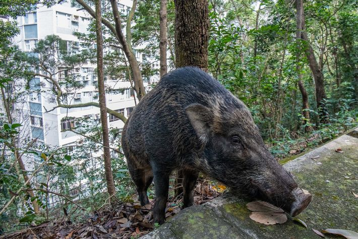 A wild boar forages for food in the hills behind an apartment building in a popular ...