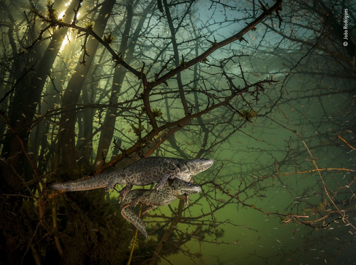 Portuguese photographer João Rodrigues was surprised by a pair of courting sharp-ribbed salamanders in a flooded ...