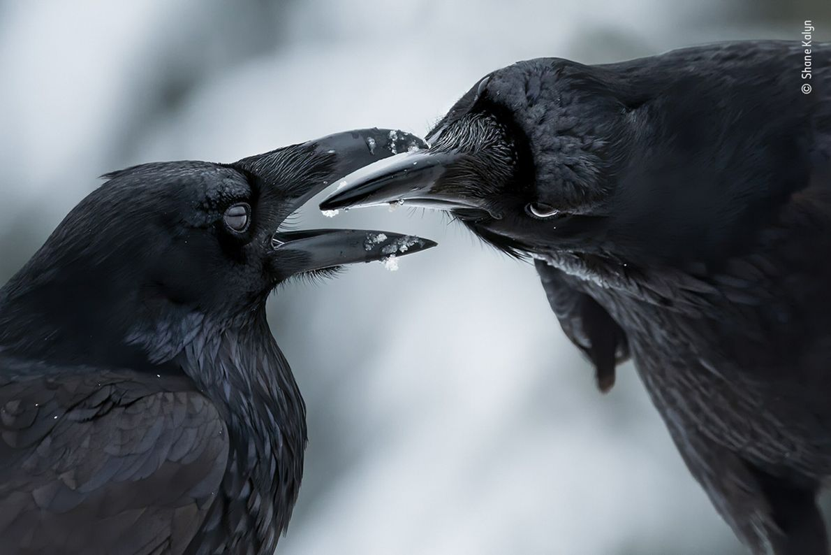 Canadian photographer Shane Kalyn won the award for Bird Behaviour for this image of a raven ...