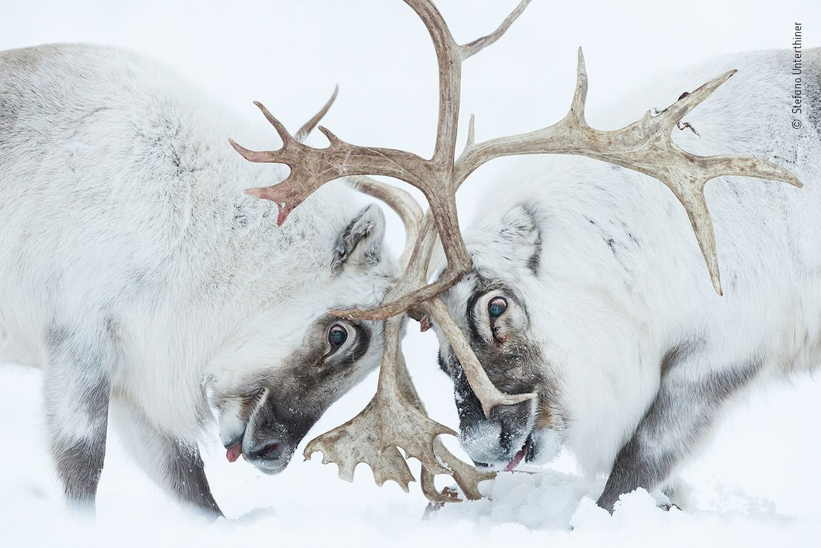 Two Svalbard reindeer battle for control of a harem in Svalbard, Norway, in this image, which ...
