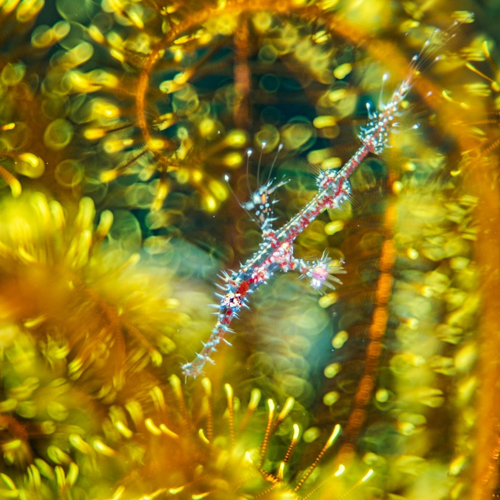 Alex Mustard, based in the U.K., found a ghost pipefish hiding among the arms of a ...