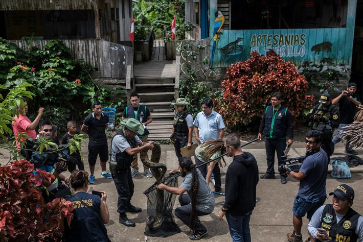 Wildlife experts wrangle a 10-foot-long anaconda into a net for transport as police and residents of ...