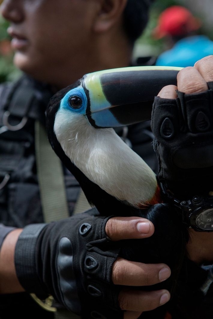 This toucan is one of 14 birds rescued, including scarlet macaws and parrots. All of the ...