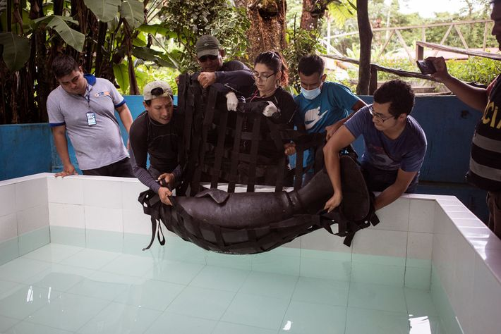 At the Centro de Rescate Amazonico, a wildlife rehab centre in Iquitos, veterinarians lower the rescued ...