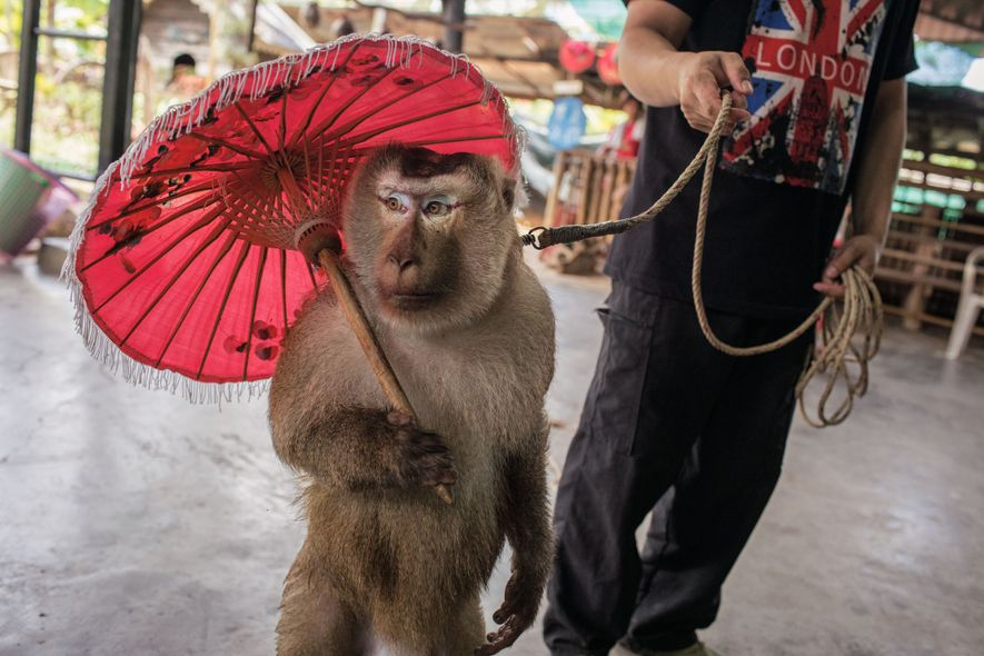 A macaque pauses during a performance at Monkey School, a roadside zoo near Chiang Mai. The ...