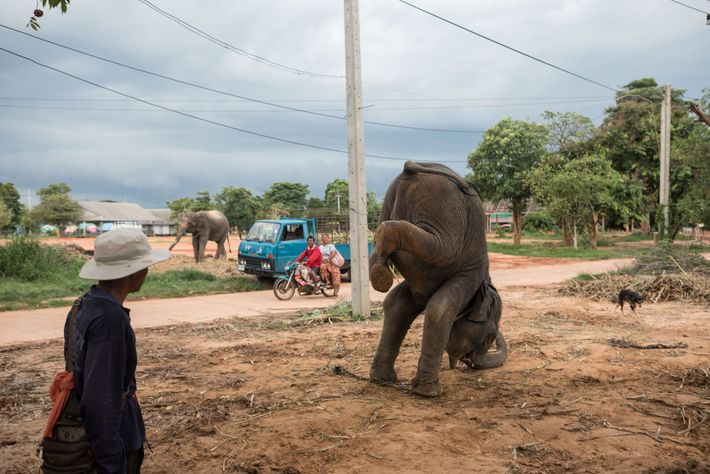 In Ban Ta Klang, Thailand, a trainer directs a young elephant to practice a handstand. This ...