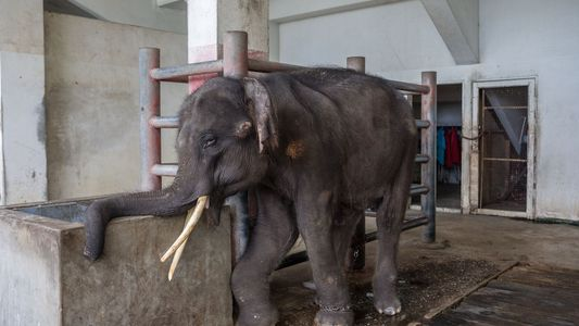 This elephant's plight sparked outrage. Here's an update.