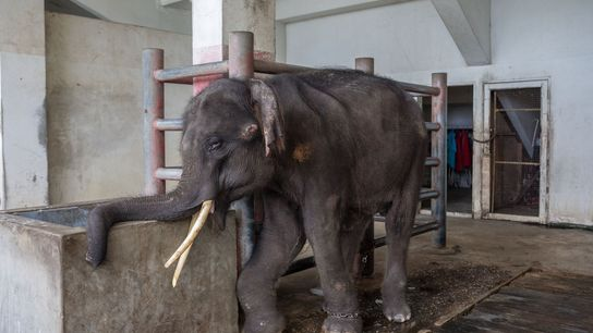Gluay Hom, a four-year-old elephant trained to perform tricks for tourists, is chained to a pole ...