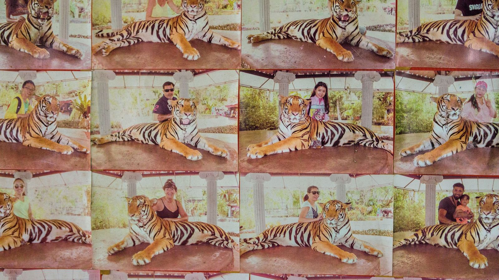 For $10, tourists can pose with this tiger at Phuket Zoo, in Thailand. Examples of souvenir ...