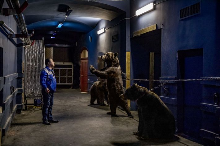 Muzzled and chained, three performing bears face their trainer, Grant Ibragimov, after a rehearsal at the ...