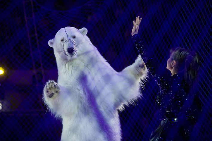 Behind netting, a polar bear dances at the Circus on Ice in Kazan, Russia. Performing polar ...