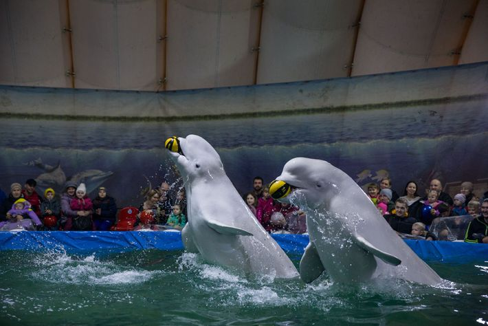 Beluga whales perform in a pop-up aquarium under an inflatable tent in Saratov, Russia. Not all ...