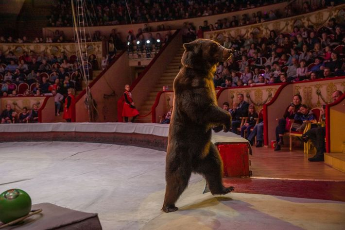 A brown bear trained to walk on two legs exits the ring during a performance at ...