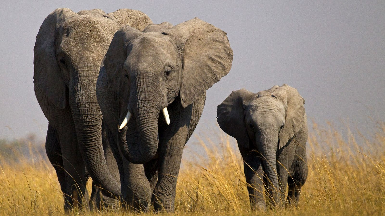 This year it became much more difficult for African countries with wild elephants to send them ...