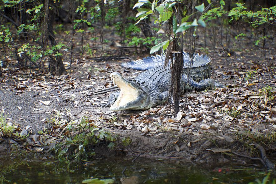 Saltwater crocodile basking on wetland shores, with jaws open to regulate its body temperature.