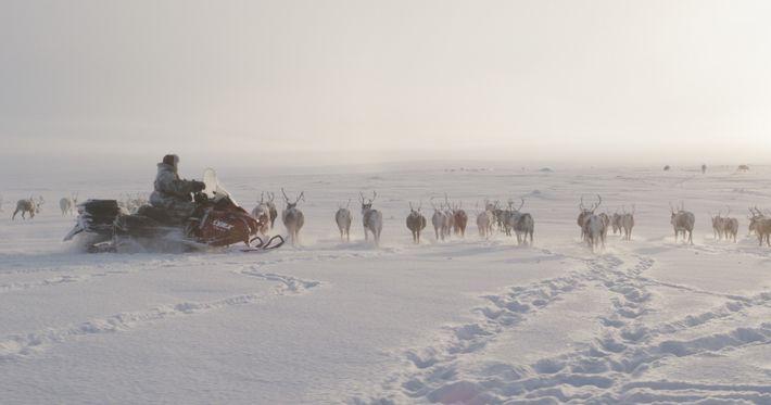 Wild Nordic: Reindeer herding by snowmobile.