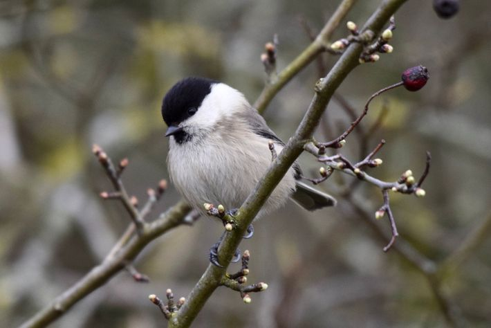 Similar in appearance to coal and marsh tits, willow tits are mostly found in damp willow ...