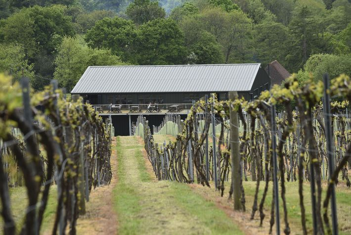 The vines and cafe at Bolney Estate, West Sussex